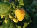 Саженцы малины Ярославна (желтой)