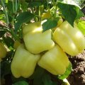 Семена перца Никита F1сладкого Clause 5г