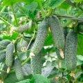 Семена огурца ЗКИ-104 ZKI-104 F1 партенокарпического Lark Seeds 25семян