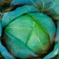 Семена капусты Бирюза белокачанной поздней Semenaoptom 100г