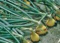 Семена лука репчатого Сибирь Sibir озимого Bejo 5000семян