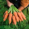Семена моркови Кардиф F1 1л,8-2,0мм Шантане Bejo 100000семян