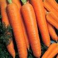 Семена моркови Камаран F1 Kamaran F1 Берликум 2.0 - 2.2мм. Bejo 100000семян