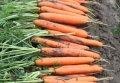 Семена моркови Ньюкасл F1 Newcastle F1 Нантского типа Bejo 2.2 - 2.4мм 25000семян