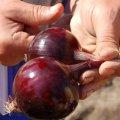 Семена лука Робин Robin репчатого красного Bejo 1000семян