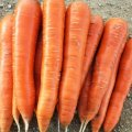 Семена моркови Сиркана F1 Нантской Nunhems 1.6 - 1.8мм 100000семян