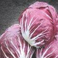 Семена цикория салатного Индиго Indigo Bejo 50семян