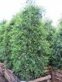 Туя складчатая Aurescens