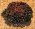 Семена салата Революция листовой  5 000 семян