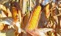 Семена кукурузы Гран 6 (среднеспелый, ФАО 300) - ВНИС