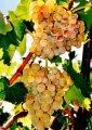 Саженцы однополого винограда Атлант. Отличительная особенность чаучаловый вкус - эталон качества винограда