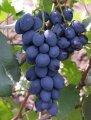Виноградные саженцы Сфинкс гибридной селекции раннего периода созревания