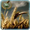 Пшеница озимая Нива (Одесская)