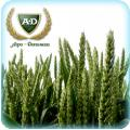 Пшеница мягкая озимая Скаген