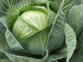 The cabbage, in Ukraine, the price, a photo to buy