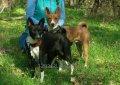 Породистые собаки, щенки,  щенки басенджи.  Вязки басенджи. Окрас на выбор.