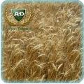 Пшеница озимая Солоха