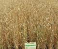 """Озимая пшеница """"Подолянка""""безоста"""