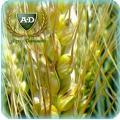 Пшеница-двуручка озимая Озерная