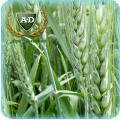 Пшеница озимая Стальная