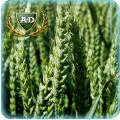 Пшеница озимая Колониа