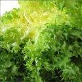 Валоне семена салата тип Фризе/Эндивий Euroseed 5 г