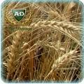 Пшеница озимая мягкая Косоч