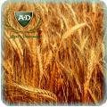 Пшеница озимая мягкая Соломия элита