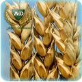Пшеница озимая мягкая Орийка