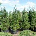 Хвойное дерево Пихта грандис 75-200См