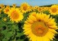 Гібрид насіння соняшнику Mas 90F
