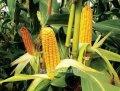 Кукуруза Зуанито