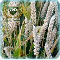 Пшеница озимая Лиль - Элита