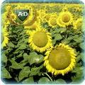 Семена подсолнечника Дуэт КЛ (под Евролайтнинг)