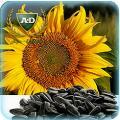 Семена подсолнечника Командор (посевной материал) стандарт