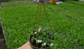 Растения балконные и клумбовые