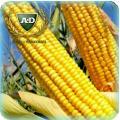 Семена кукурузы Тактик
