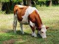 Сперма быков Монбельярдской породы/Fanfani