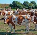 Спермопродукция быков голштинской породы Мастеринд ГмбХ Германия