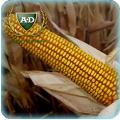 Семена кукурузы Русич