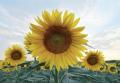 Семена подсолнечника ЛГ 5485 (LG 5485)