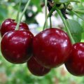 Саженцы вишни Эрди крупноплодная
