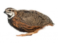 Feedstuff-quail hens with 63 days, during production period SP 17%, article F19-2