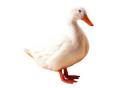 Комбікорм старт качки та гуси (СП 20%) гранула, артикул F17-5
