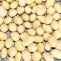 Семена сои Опус