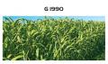 Семена сарго G 1990