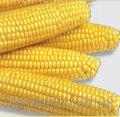 Семена кукурузы Добриня F1 25 000 сем