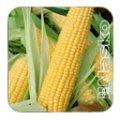 Семена кукурузы сахарной NASKO  75/26 F1 500 с