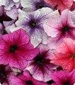 Семена Петунии крупноцветковая Вертуоз Бери микс 500 с