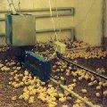 Комплекты оборудования для напольного выращивания и содержания птицы мясных пород и кур-несушек ЦБК, КМК, ОПБ-1, ОПБ-2